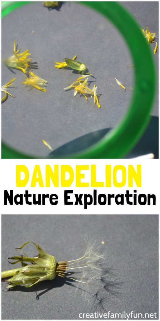 Discover the parts of a dandelion with this simple backyard nature activity for kids. Go outside together and learn all about this simple wildflower.